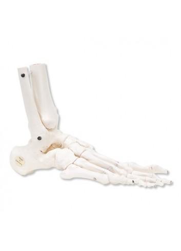Scheletro del piede A31/1R