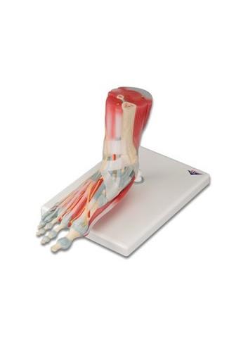 Modello di scheletro del piede con legamenti e muscoli M34/1