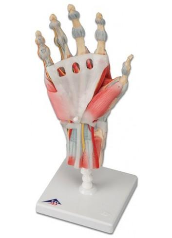 Modello di scheletro della mano con legamenti e muscoli M33/1