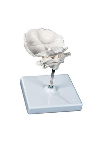 Atlante e epistrofeo A 71/5, con squama dell'osso occipitale, montati, su cavalletto rimovibile