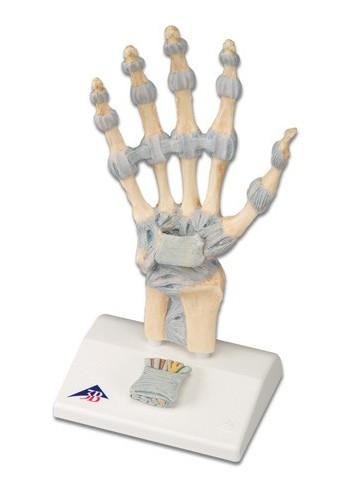 Modello di scheletro della mano con legamenti e tunnel carpale M33