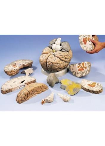 Mega cervello VH409, ingrandito 2,5 volte, in 14 parti