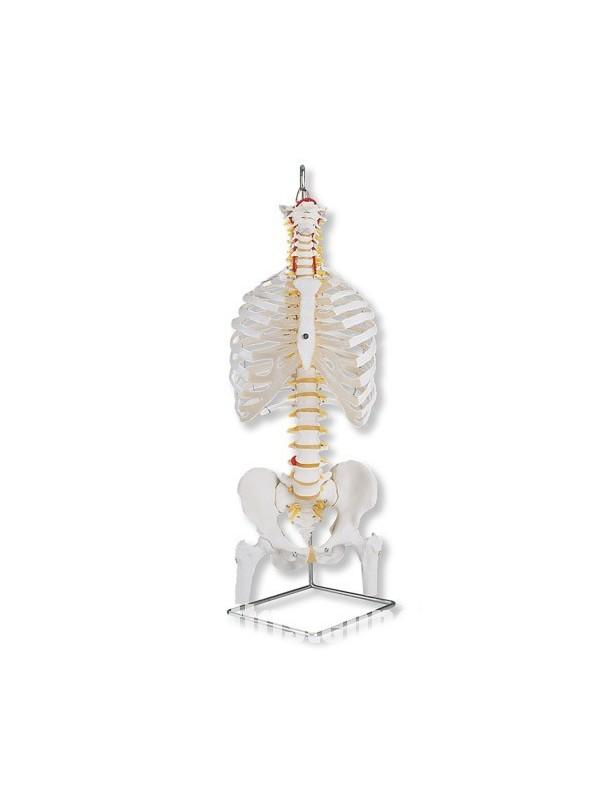 Colonna vertebrale flessibile...