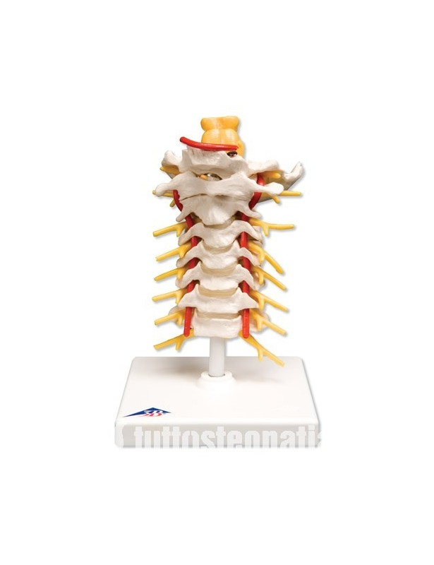 Colonna vertebrale cervicale A72