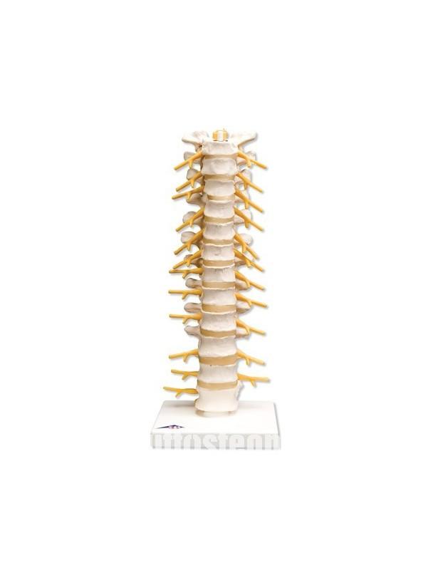 Colonna vertebrale toracica A73