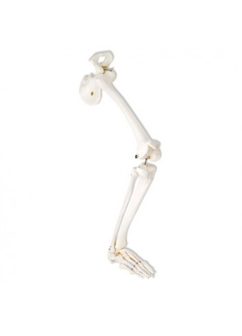 Scheletro della gamba con osso iliaco, destro (cod. A36R)