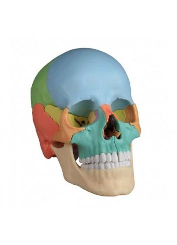 Cranio Erler Zimmer colorato scomponibile in 22 pezzi 4708