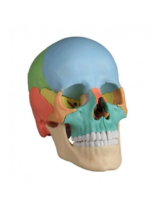 Cranio Erler Zimmer colorato...