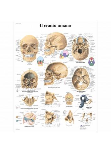 3B Scientific, tavola anatomica formato cartaceo, Il cranio umano (cod, VR4131UU)