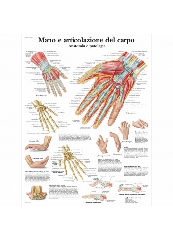 3B Scientific, tavola anatomica, Mano e articolazione del carpo (cod, VR4171UU)