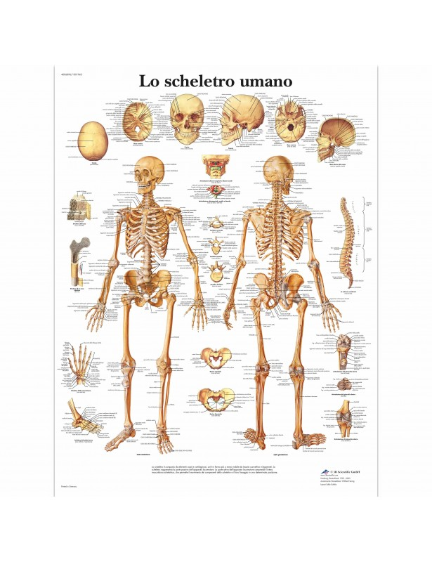 3B Scientific, tavola anatomica, Lo...
