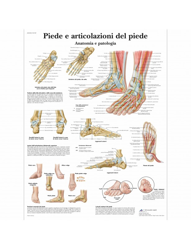 3B Scientific, tavola anatomica piede...