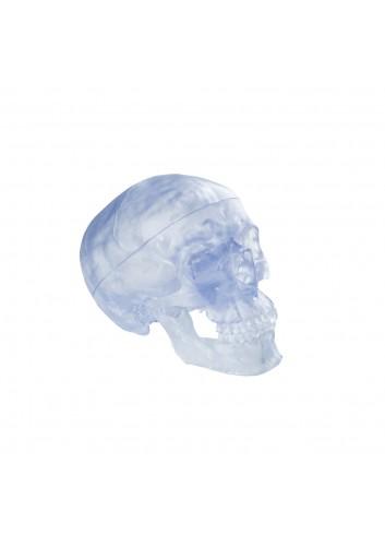 Cranio trasparente A20/T