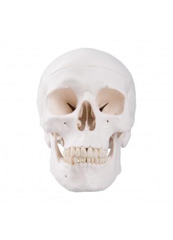 Cranio bianco A20