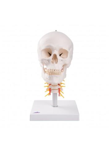 Cranio con vertebre...