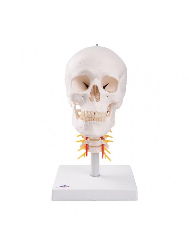 Cranio con vertebre cervicali A20/1