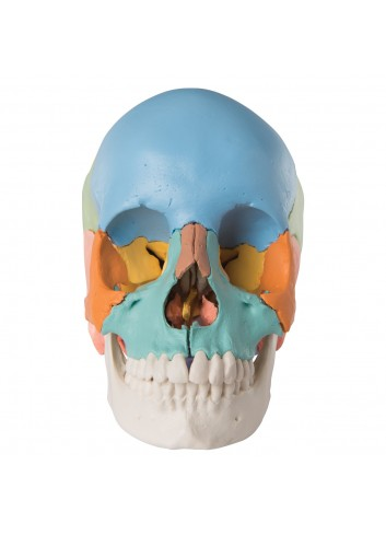 Cranio scomponibile...