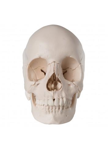 Cranio scomponibile bianco...
