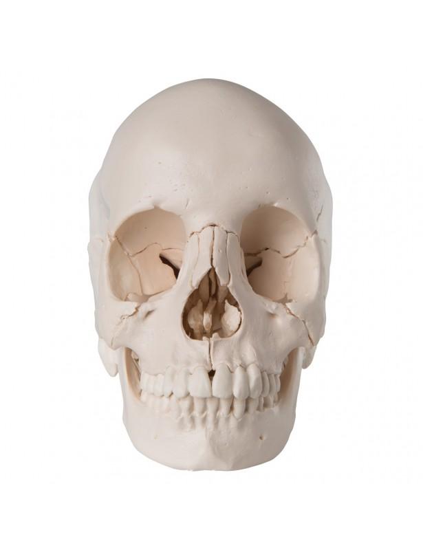 Cranio scomponibile bianco A290