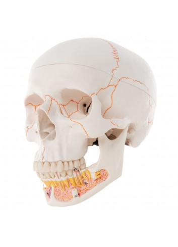 Cranio con mandibola aperta A22
