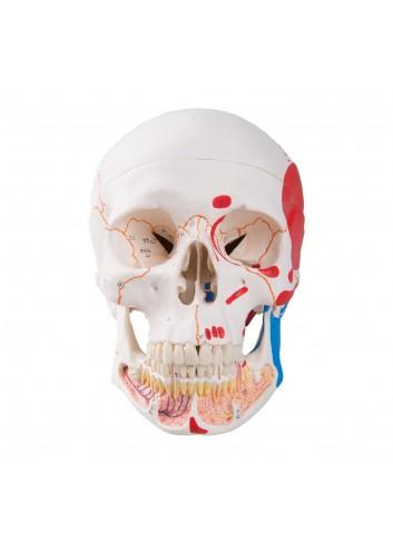 Cranio con mandibola aperta dipinto A22/1
