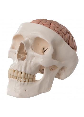 Cranio, A20/9 modello classico, con cervello, in 8 parti