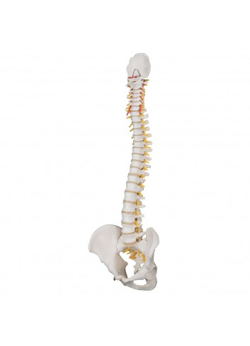 Colonna vertebrale...