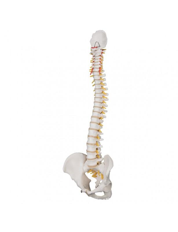 Colonna vertebrale flessibile A58/1