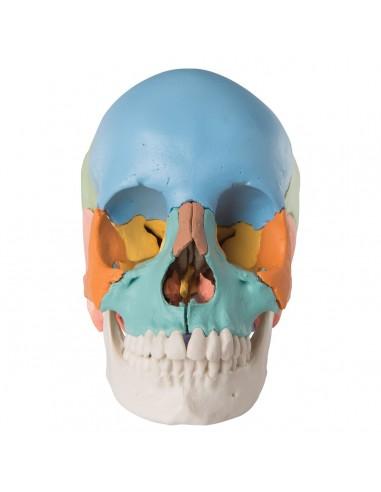 Cranio scomponibile didattico A291