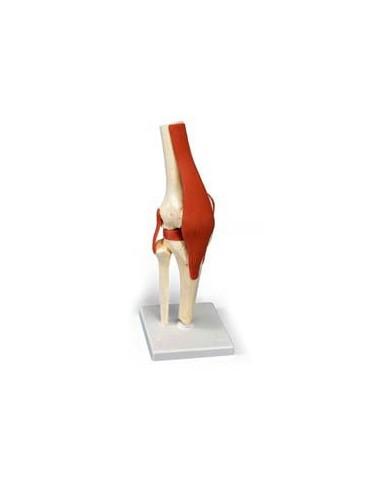 Articolazione del ginocchio A82/1