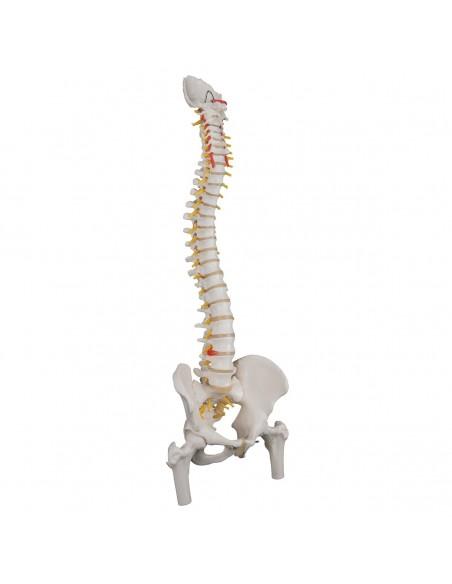 Colonna vertebrale con tronchi del femore A58/2