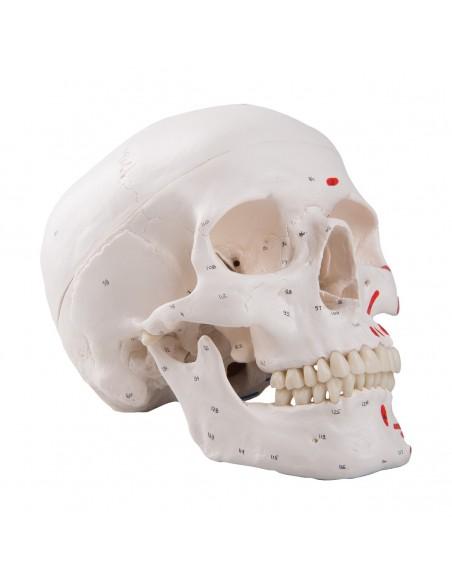 Cranio classico dipinto A23