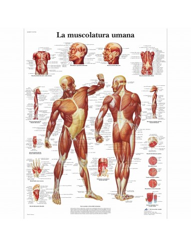 3B Scientific, tavola anatomica, La muscolatura umana (cod, VR4118UU)