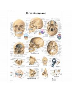 Il cranio umano (cod. VR4131UU)