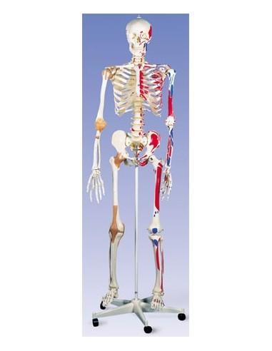 Scheletro con legamenti articolari e inserzioni muscolari A13
