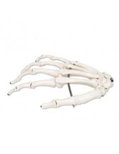 Scheletro della mano su filo metallico, destro A40R
