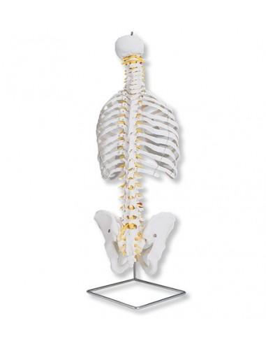 Colonna vertebrale flessibile classica, con cassa toracica A56