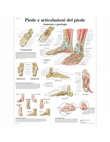 3B Scientific, tavola anatomica,Piede e articolazione del piede (cod, VR4176UU)