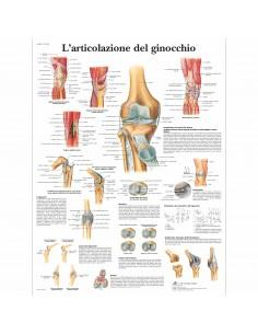 3B Scientific, tavola anatomica, L'articolazione del ginocchio (cod, VR4174L)