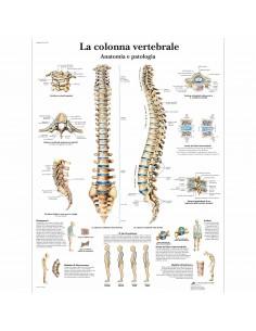 3B Scientific, tavola anatomica, La colonna vertebrale, anatomia e patologia (cod, VR4152L)