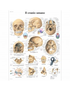 3B Scientific, tavola anatomica Laminata, Il cranio umano (cod, VR4131L)