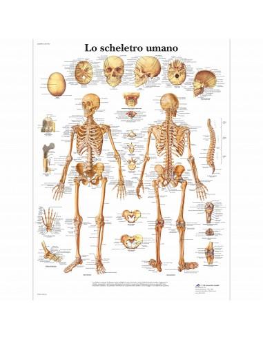 3B Scientific, tavola anatomica, Lo scheletro umano (cod, VR4113L)