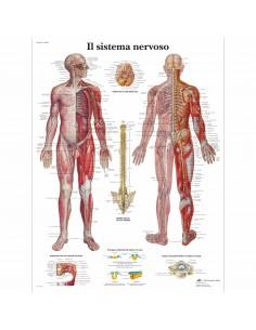 3B Scientific, tavola anatomica, Il Sistema Nervoso (cod, VR4620UU)