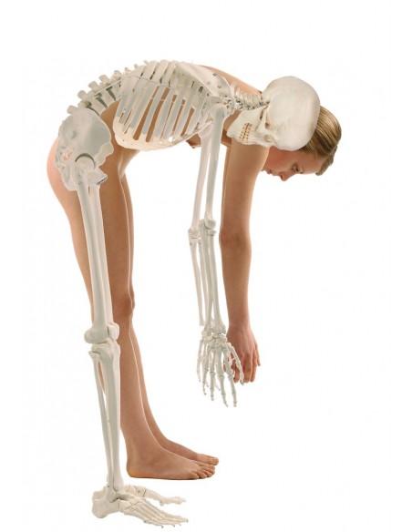 Scheletro posturale con colonna vertebrale flessibile e dischi intervertebrali dinamici Hugo 3014