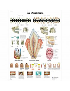 3B Scientific, tavola anatomica, Poster La dentatura (cod. VR4263L)
