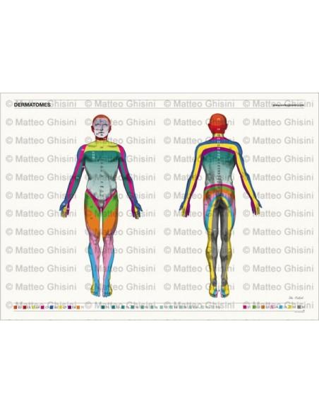 OsteoPoster Dermatomi Corpo Intero