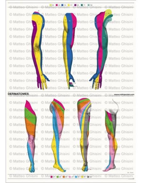 OsteoPoster Dermatomi Braccia e Gamba Verticale