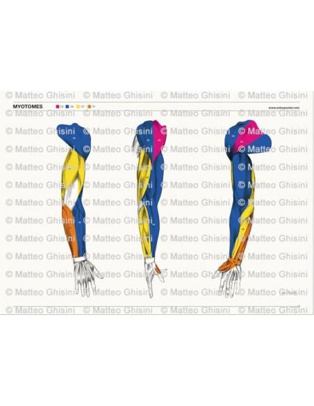 OsteoPoster Miotomi Braccia