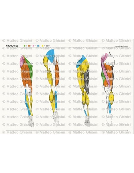 OsteoPoster Miotomi Gambe