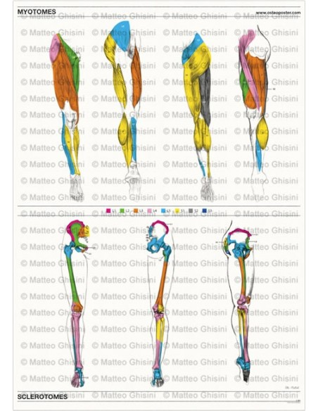 OsteoPoster Miotomi e Sclerotomi Gambe Verticale